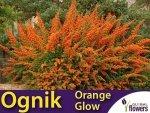 Ognik szkarłatny pomarańczowy 'Orange Glow' (Pyracantha coccinea) Sadzonka
