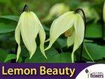 Clematis Powojnik 'Lemon Beauty' PBR Sadzonka