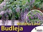 Budleja Fioletowa 'Wisteria Lane' Motyli Krzew Sadzonka