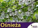 Ośnieża czteroskrzydła  Sadzonka (Halesia carolina)