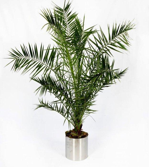 Palma Królewska Phoenix Canariensis Domowa Roślina