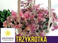 Trzykrotka QUADRICOLOR (Tradescantia fluminensis) Roślina domowa. Sadzonka P12 - M