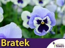 Bratek Szwajcarski Wielkokwiatowy Adonis (Viola x Wittrockiana) 0,4g Nasiona