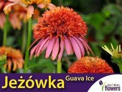 Jeżówka GUAVA ICE (Echinacea) Sadzonka C1,5