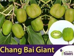 Mini Kiwi CHANG BAI GIANT♀ Wielkie owoce ! (Aktinidia Ostrolistna) Sadzonka C2 60-80cm