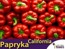 Papryka CALIFORNIA WONDER Czerwona Słodka  (Capsicum annuum) nasiona 0,5g