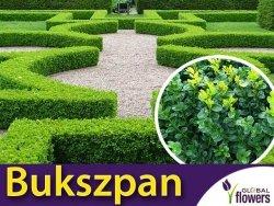 Bukszpan wieczniezielony (Buxus sempervirens) Sadzonka C1,5