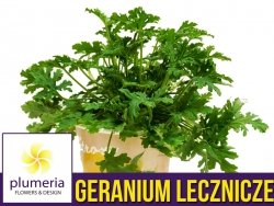 Geranium lecznicze ANGINOWIEC (Pelargonium graveolens) Roślina domowa. Sadzonka P12 - M