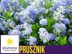 Prusznik Niebieski GLOIRE de VERSAILLES (Ceanothus) Sadzonka XL-C5