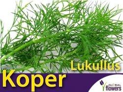 Koper ogrodowy Lukullus (Anethum graveolens) XXL 500 g