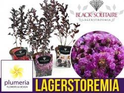 Lagerstroemia BLACK SOLITAIRE® Purely Purple (Lagerstroemia indica) Sadzonka C2