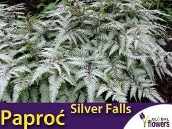 Paproć Wietlica 'Silver Falls' (Athyrium nipponicum var.pictum) Sadzonka P9