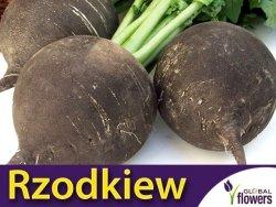 Rzodkiew zimowa RUNDER czarna (Raphanus sativus var. niger) nasiona 6g