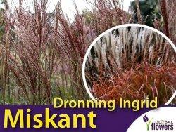 Miskant chiński 'Dronning Ingrid' (Miscanthus sinensis) Sadzonka