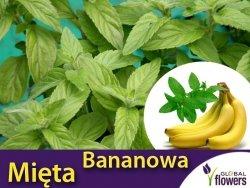 Mięta Bananowa (Mentha arvensis Banana) Sadzonka C1
