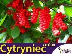 Cytryniec WU WEI ZI (Schisandra chinensis) nasiona