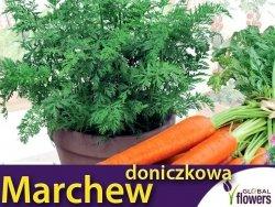 Marchew doniczkowa TOUCHON (Daucus carota) nasiona 5g