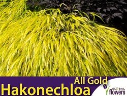 Hakonechloa smukła ALL GOLD Złota Trawa Sadzonka