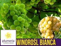 Winorośl BIANCA odmiana deserowa-przerobowa (Vitis) Sadzonka C2