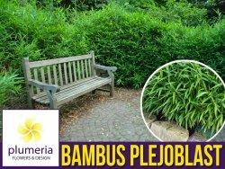 Bambus okrywowy Mrozoodporny PLEJOBLAST NISKI (Pleioblastus pumilis) Sadzonka C2