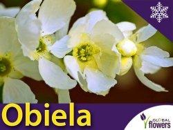 Obiela wielkokwiatowa (Exochorda 'The Bride') Sadzonka