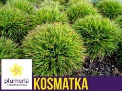 Kosmatka owłosiona IGEL (Luzula pilosa) P9