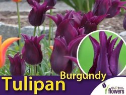 Tulipan liliokształtny 'Burgundy' (Tulipa) CEBULKI 5 szt