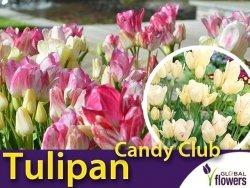 Tulipan Wielokwiatowy 'Candy Club' (Tulipa) CEBULKI