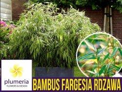 Bambus Mrozoodporny FARGESIA RDZAWA (Fargesia rufa) Sadzonka C1