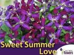 Powojnik SWEET SUMMER LOVE PBR (Clematis) Sadzonka C2