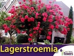 Lagerstroemia Purpurea (Lagerstroemia indica) Krzew który kwitnie 120 dni Sadzonka