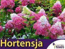 Hortensja Bukietowa FRAISE MELBA 'RENBA' (Hydrangea paniculata) Sadzonka XL-C5