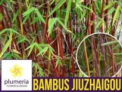 Czerwony Bambus Mrozoodporny (Fargesia Jiuzhaigou) Sadzonka P9