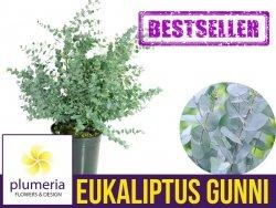 Eukaliptus Niebieski (Eukaliptus Gunni) 5 letnia Sadzonka XL-C9 90-120cm
