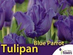 Tulipan Papuzi 'Blue Parrot' (Tulipa) CEBULKI 4 szt