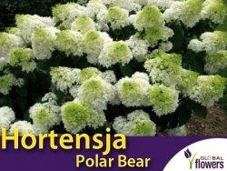 Hortensja bukietowa 'Polar Bear' (Hydrangea paniculata) sadzonka
