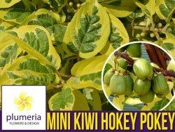 Mini Kiwi HOKEY POKEY® (Aktinidia Ostrolistna) 3letnia Sadzonka C2 60-80cm