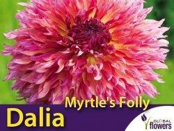 Dalia strzępiasta wysoka 'Myrtle's Folly' (Dahlia x cultorum) Kłącza 1 szt.