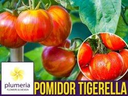 Pomidor TIGERELLA  Czerwona zebra (Lycopersicon Esculentum) nasiona 0,2g