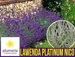 Lawenda PLATINUM NICO® (Lavandula) Sadzonka C1,5