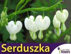 Serduszka okazałe białe (Dicentra spectabilis) Duża Sadzonka
