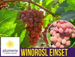 Winorośl EINSET odmiana bezpestkowa (Vitis) Sadzonka C2