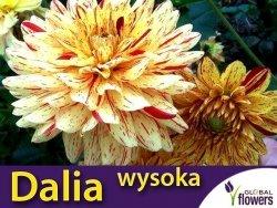 Dalia dekoracyjna wysoka Arlekin (Dahlia x cultorum) kłącza 1 szt.