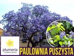 Paulownia Cesarskie Drzewko Szczęścia (Paulownia Tomentosa) nasiona 0,1g