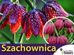 Szachownica kostkowata (Fritillaria meleagris) CEBULKI 1 szt.