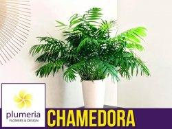 CHAMEDORA palma koralowa (Chamedorea Elegans) Roślina domowa. Sadzonka P8,5 - S