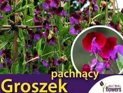 Groszek pachnący, Matucana niebiesko-purpurowy (Lathyrus odoratus) 5g nasiona LUX
