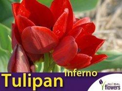 Tulipan Wielokwiatowy 'Inferno' (Tulipa) CEBULKI