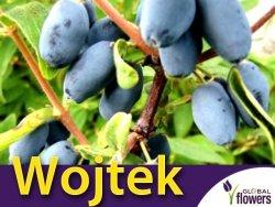 Jagoda Kamczacka WOJTEK Sadzonka 3/4 letnia 50-90cm