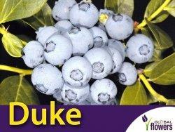 Borówka Amerykańska Sadzonka 4 letnia - odmiana Duke